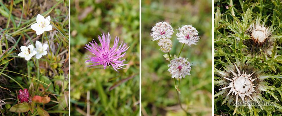 bregenzerwald-blommor